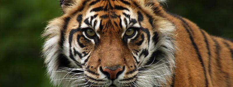 Sumatran Tiger Hero